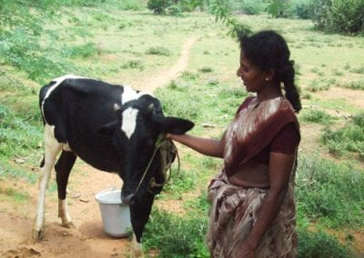 local woman caring for her cow